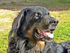 Sirius mon hovawart, décédé le 1er mai 2013