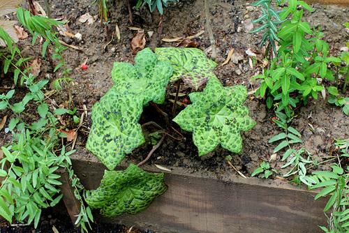 Derrière l'armoire - Jardin 12 - Podophyllum 'Spotty Dotty'