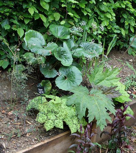 Derrière l'armoire - Jardin 12 -Rheum palmatum 'Tanguticum' - Podophyllum et Fargesia japonica