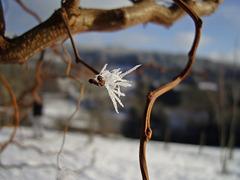 joyau d'hiver