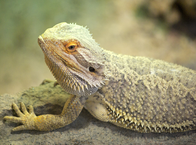 Eastern Bearded Dragon at Jurques Zoo - September 2011