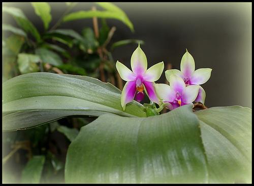 Phalaenopsis bellina (4)