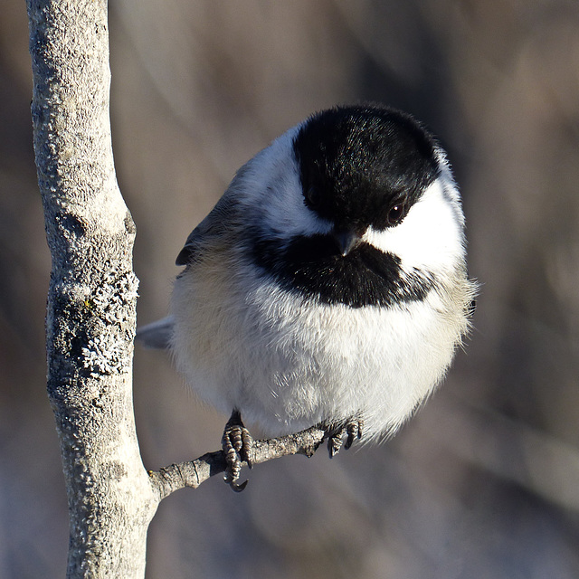 Gotta love those Chickadees