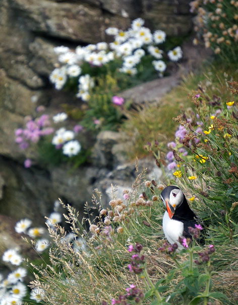 Puffin, Westray, Orkney Isles