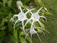 Longouse à fleurs blanches