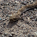 Western Diamondback Rattlesnake, the business end