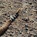 Western Diamondback Rattlesnake, the warning end