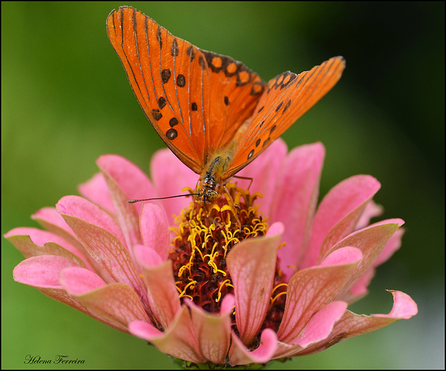 Butterfly and pink flower.