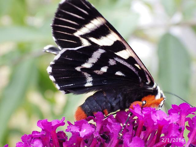 Comocrus behri (Mistletoe Moth)