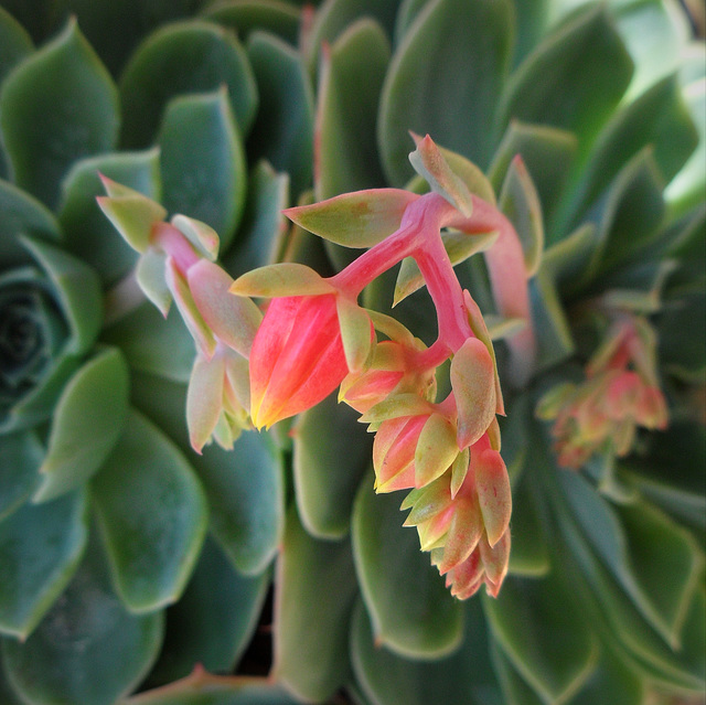 a succulent from my balcony