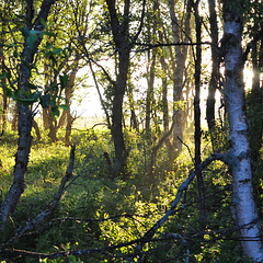 Midnightsun in the birch forest
