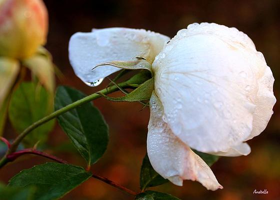 Douceur de rose perlée