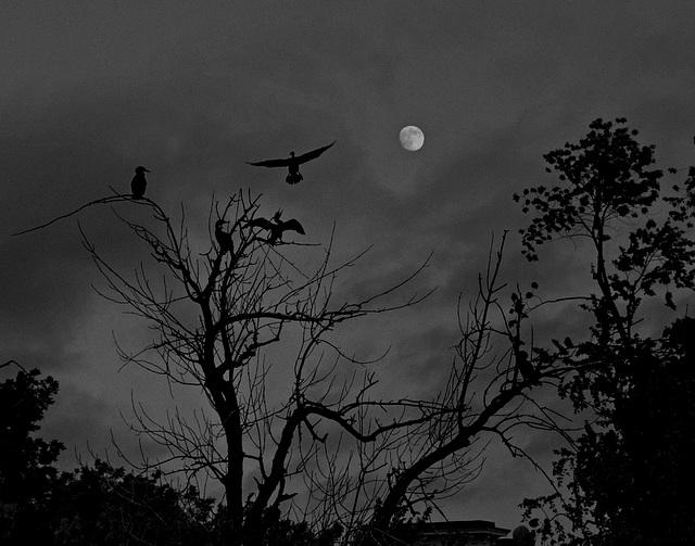 cormorans au clair de lune