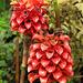 Rose de Malaisie ou reine de Malaisie = Tapeinocheilus ananassae (Indonésie), Parc de la Tête d'Or, Lyon, Rhône