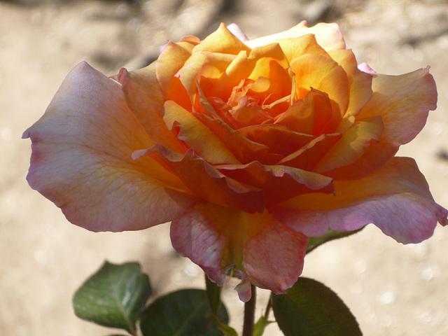 Rosa iluminada