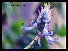 Lamiaceae 5 Explore