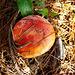 Mushroom in pine needles
