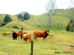 Herd in hills