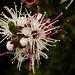 Kunzea Flower