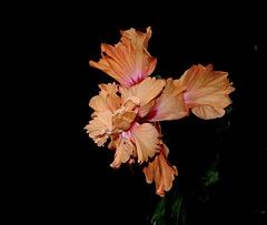 Hibiscus El Capitolio Sport