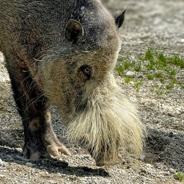 Bartschwein / sanglier à barbe / Bornean bearded pig