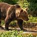 Hier kommt der Bär