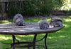 Squirrels tucking in to the last bit of jam sponge cake