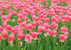 Tulpen.......