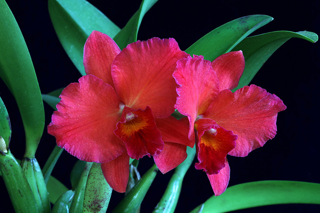 Sophrolaeliocattleya Circle of Life