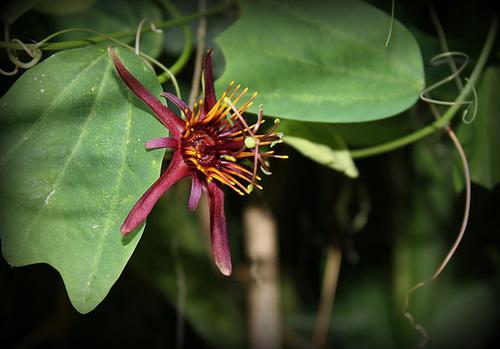 Passiflora 'Sunfire ' (2)