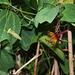 Passiflora 'Sunfire '  (3)