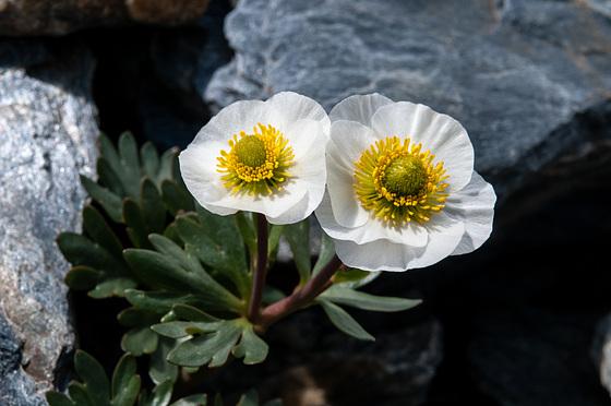 Ranunculus glacialis - 2011-07-02-_DSC0182