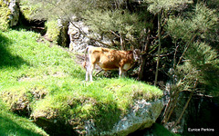 Cow on rock