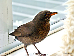 Thrush in our lounge