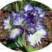 Iris - Classic Look