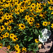 Bed of Black-eyed Susans