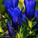 Blau, blau, blau blüht der Enzian