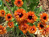 Double orange gloriosa daisies