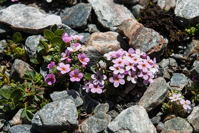 Androsace alpina - 2012-07-16-_DSC0954