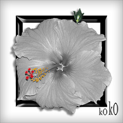 Hibiscus, black frame on white