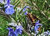 Wasp and Rosemary