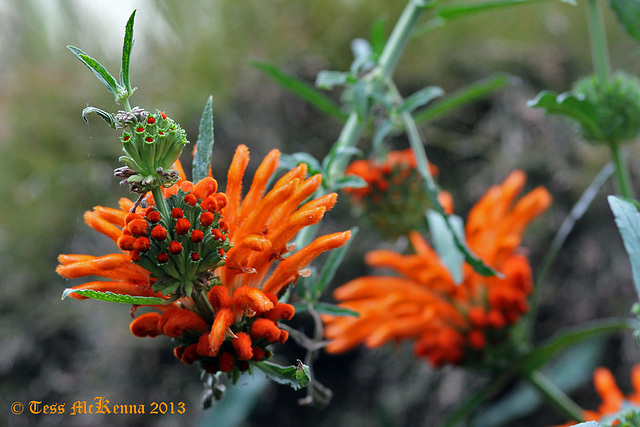 Leonotis leonurus (Loin's Tail Flower)  198 copy