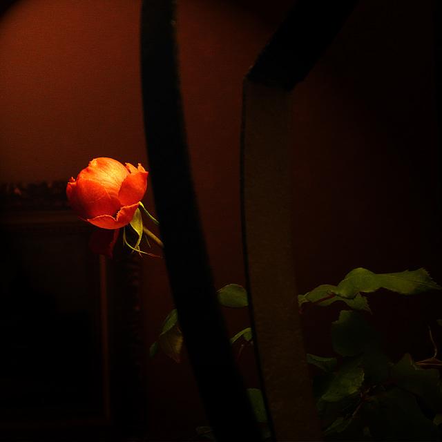 2014-02-01_La rose de Noël