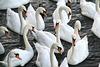It´s swan time!