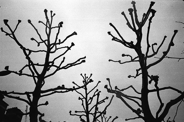Plane Trees, London SW1.
