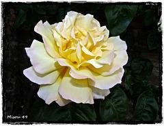 ROSE de Normandie