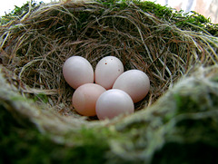 Easter Sunday, April 8, 2012 - Eastern Phoebe Nest