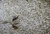 Héron cendré (sauvage)... sur l'eau