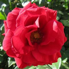 En attendant le printemps des roses...