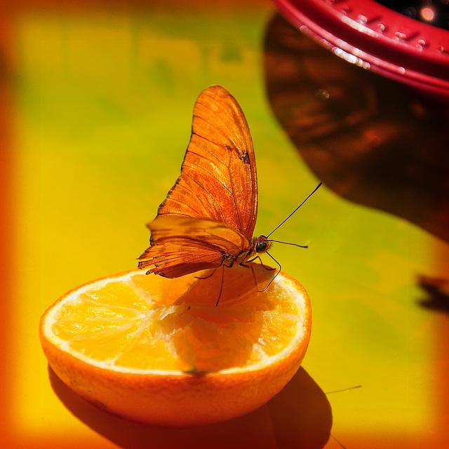 Schmetterlingsbuffet